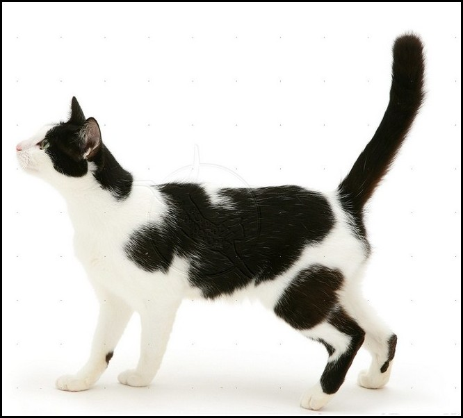 Black And White American Shorthair Kittens