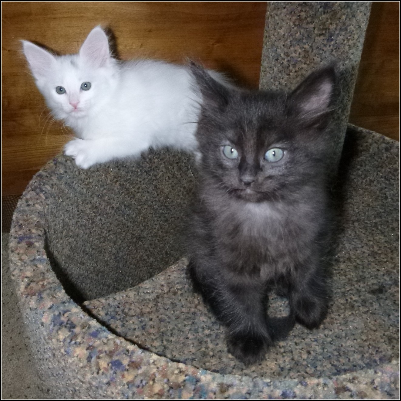 Black Turkish Angora Kittens