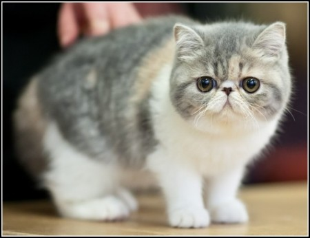 Cute American Shorthair Kittens