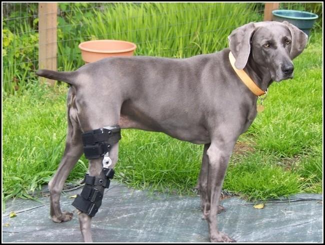 Dog Braces Acl Injury