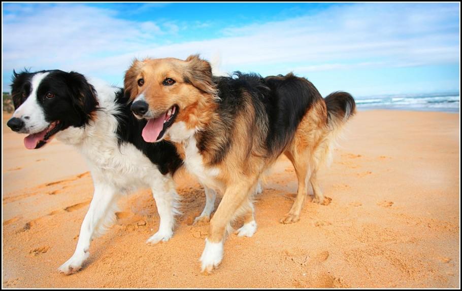 Dry Skin Dogs Symptoms