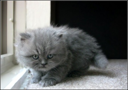 Gray Turkish Angora Kittens