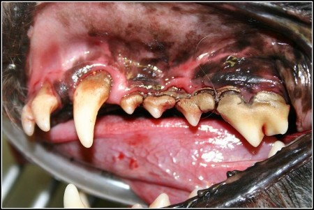 Gum Disease In Dogs Remedies
