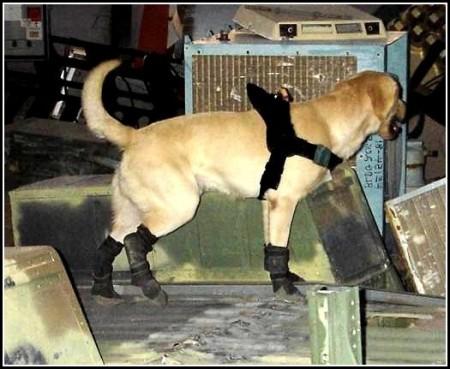 Military Dog Adoption California