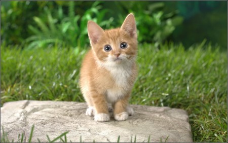 Orange American Shorthair Kittens