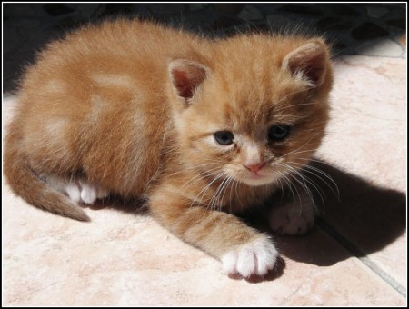 Orange Tabby Kitten Newborn