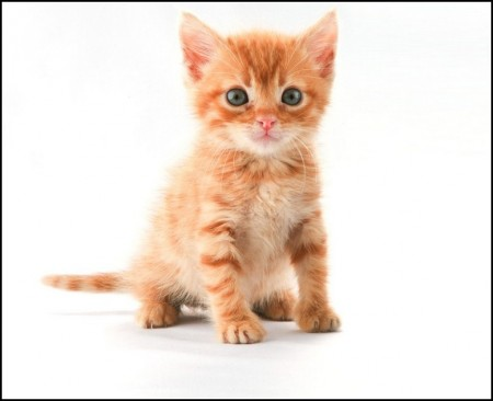 Orange Tabby Kitten With Blue Eyes