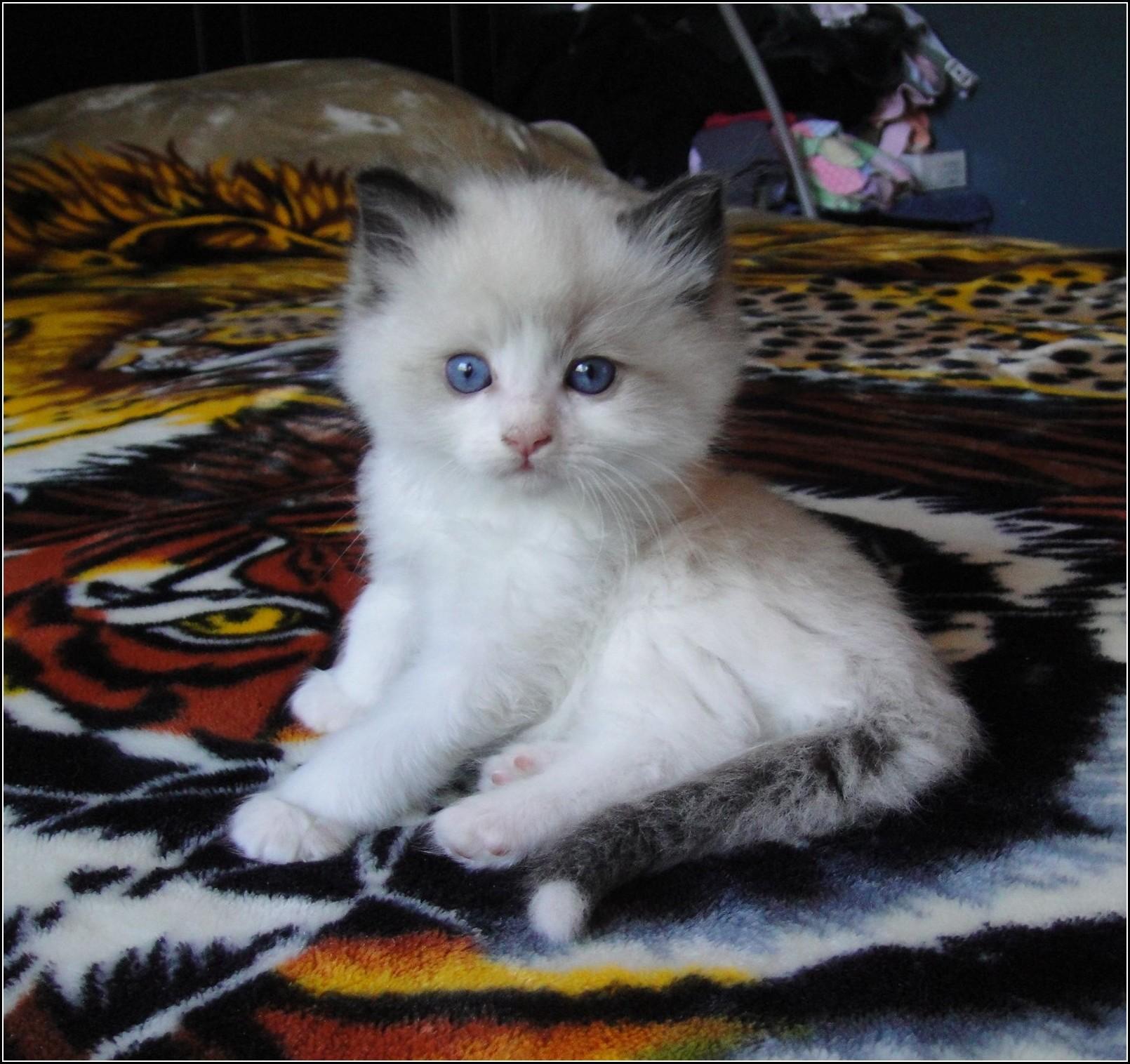 Ragdoll Kittens San Diego