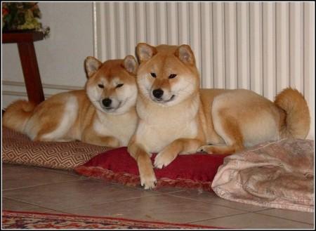 Shiba Inu Dogs 101