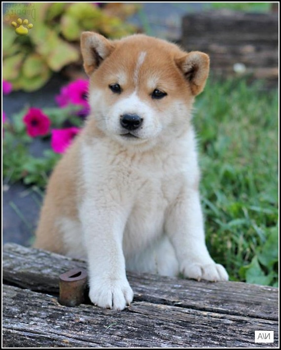Shiba Inu Dogs For Adoption