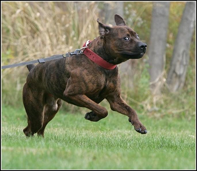 Strongest Dog Bite Force Breeds