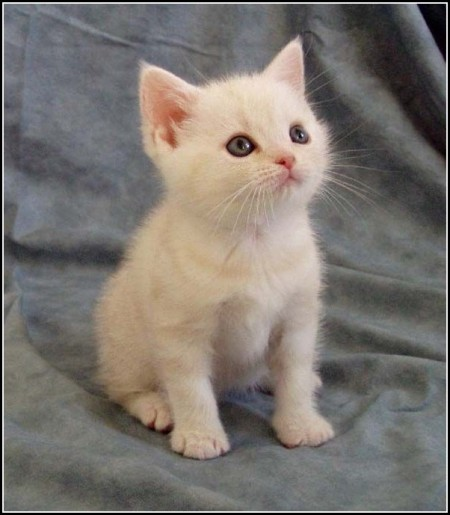White american shorthair kittens