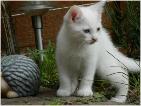White Turkish Angora Kittens