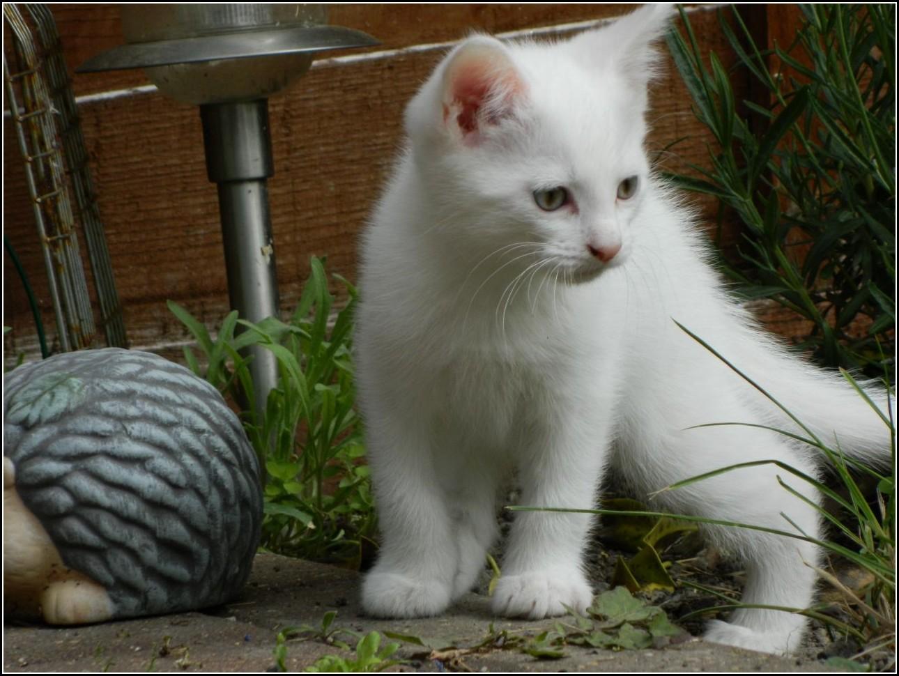 White Turkish Angora Kittens