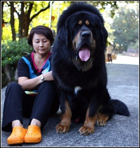 World's Largest Dog Breeds Top 10