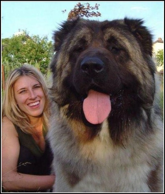 Massive Dog Breeds