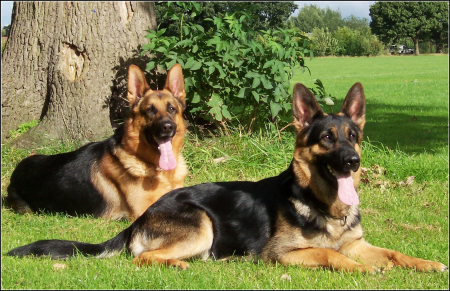 Alsatian Dog Photos