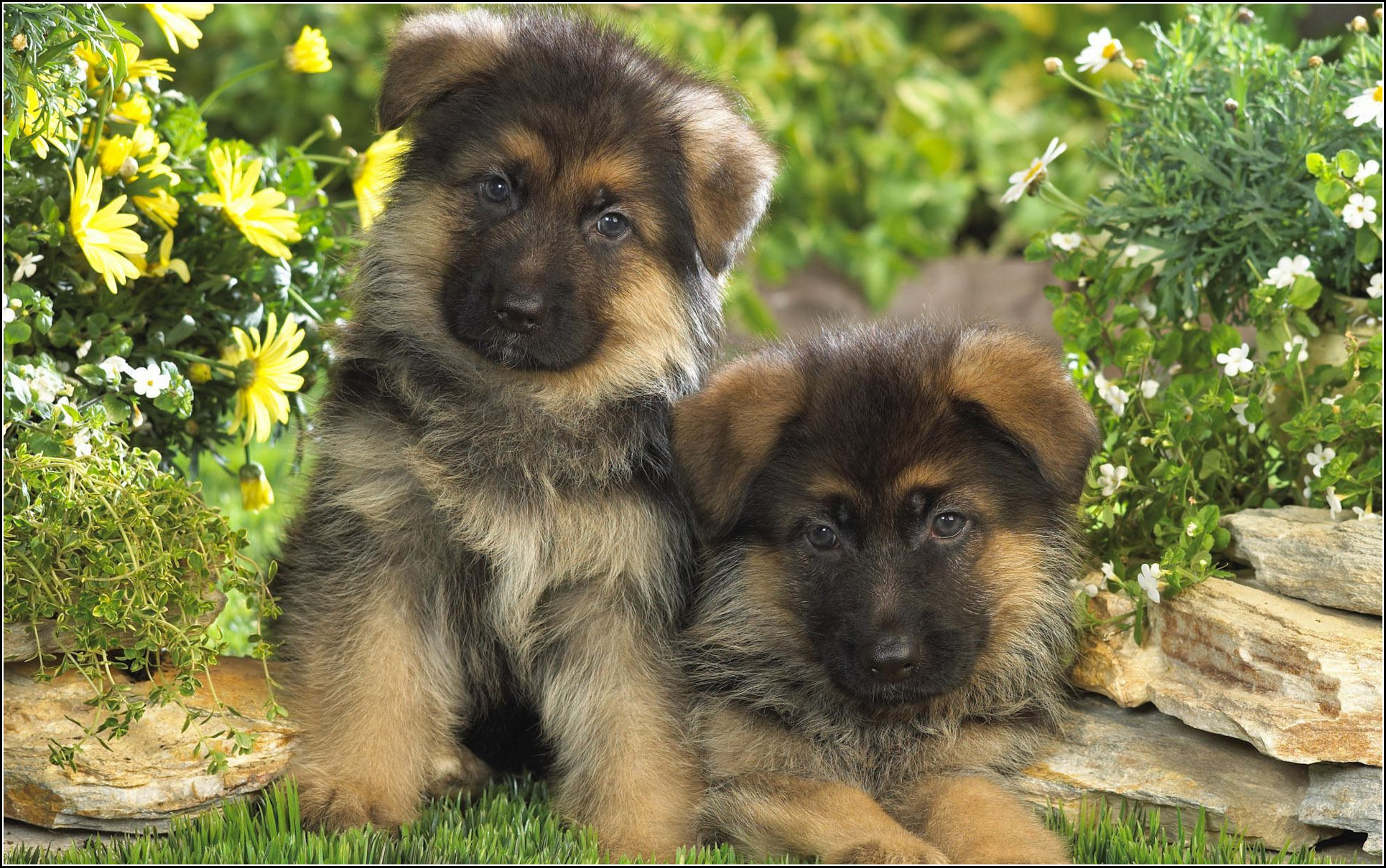 Alsatian Dog Puppy