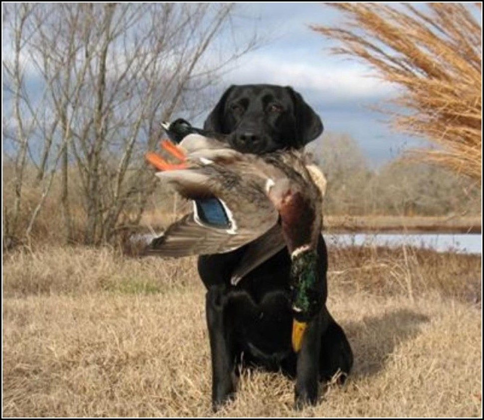Best Duck Hunting Dogs Breeds