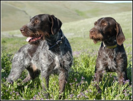 Bird Dogs Breeds Pictures