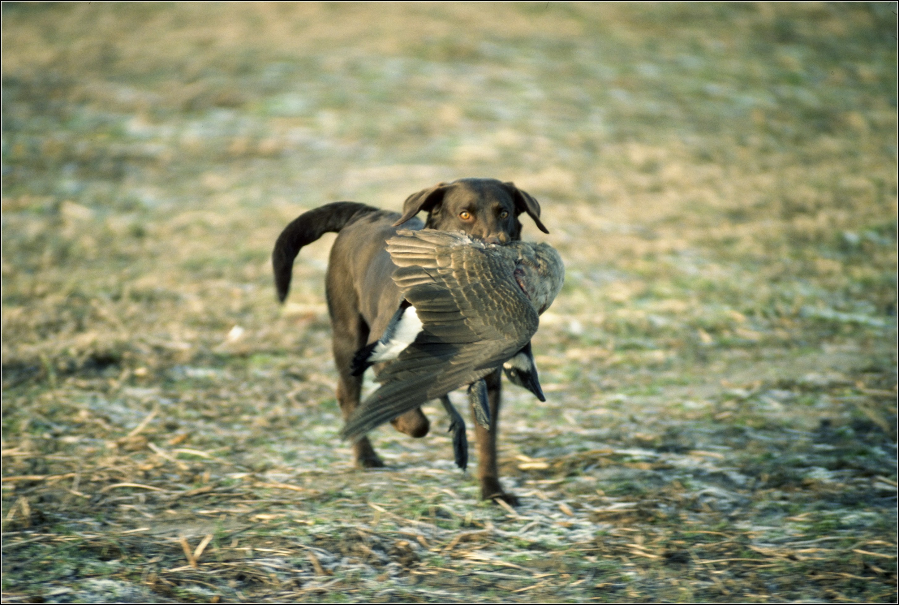 Bird Dogs Pictures
