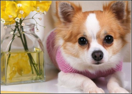 Chiwawa Dog Images