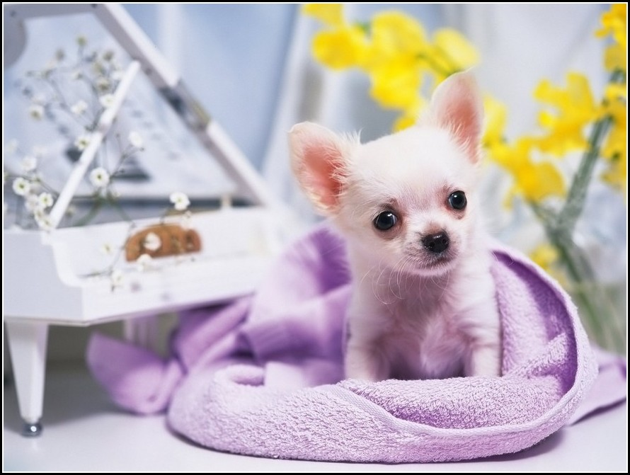 Chiwawa Dog Puppies