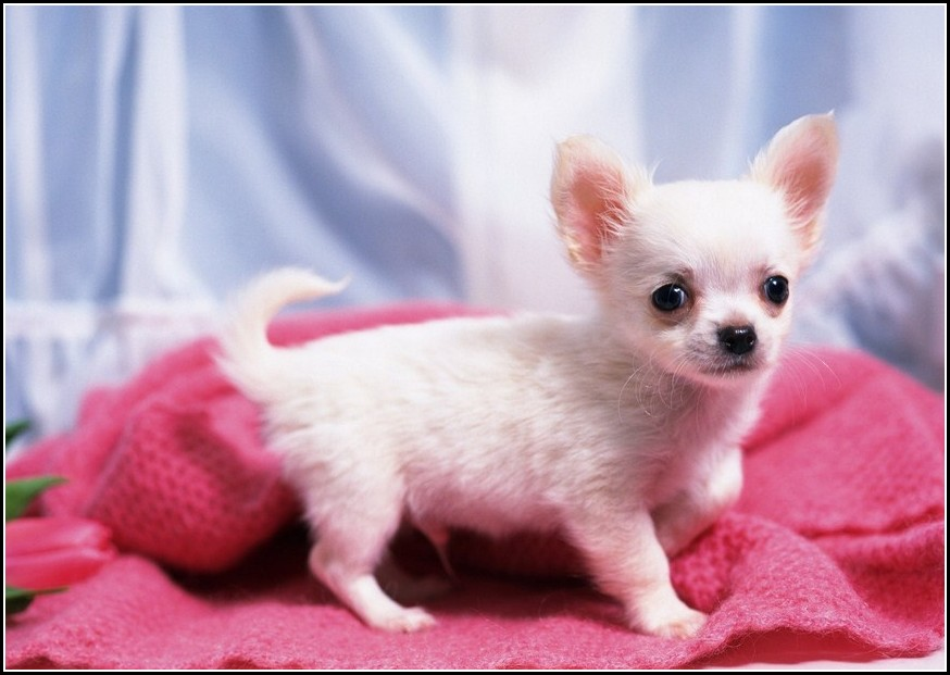 Chiwawa Dog White
