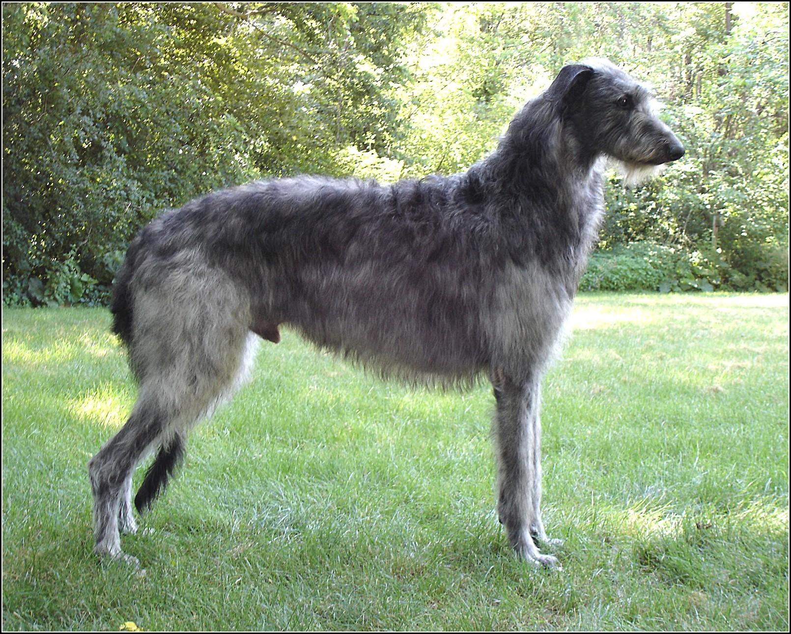 Dog Breeds Large Short Hair