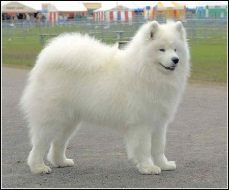 Dog Breeds Large White