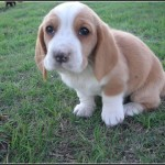 Hound Dog Puppies