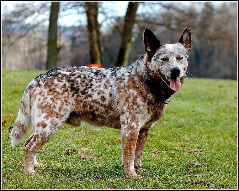 Hunting Dogs Australia