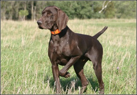 Hunting Dogs Breeds List