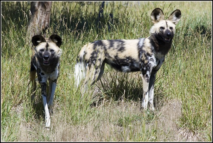 Hunting Dogs Images