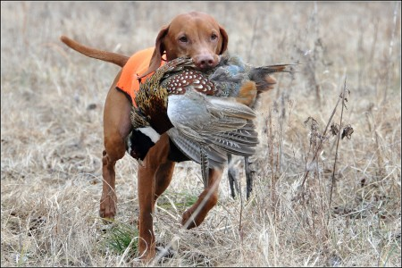 Hunting Dogs Pics