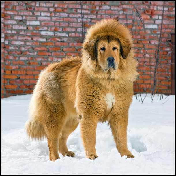 Lion Dog Breed