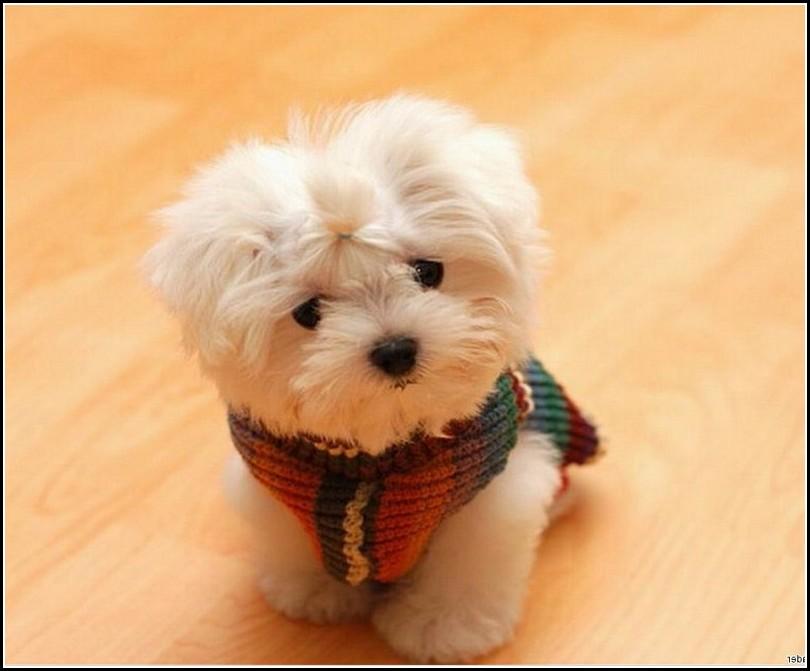 Little Dogs That Stay Little
