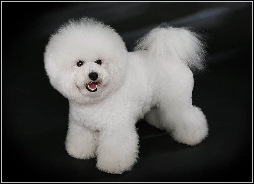 Little White Dog With Curly Hair
