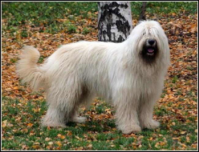 Long Haired Dog Breeds Large