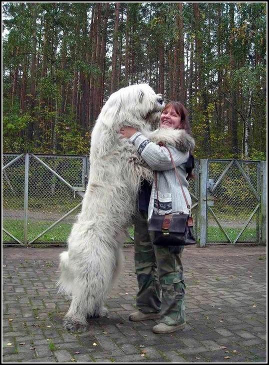Mountain Dog Breeds Large