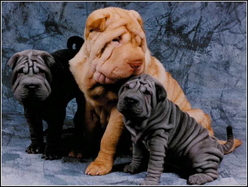 Pictures Of A Sharpei Dog