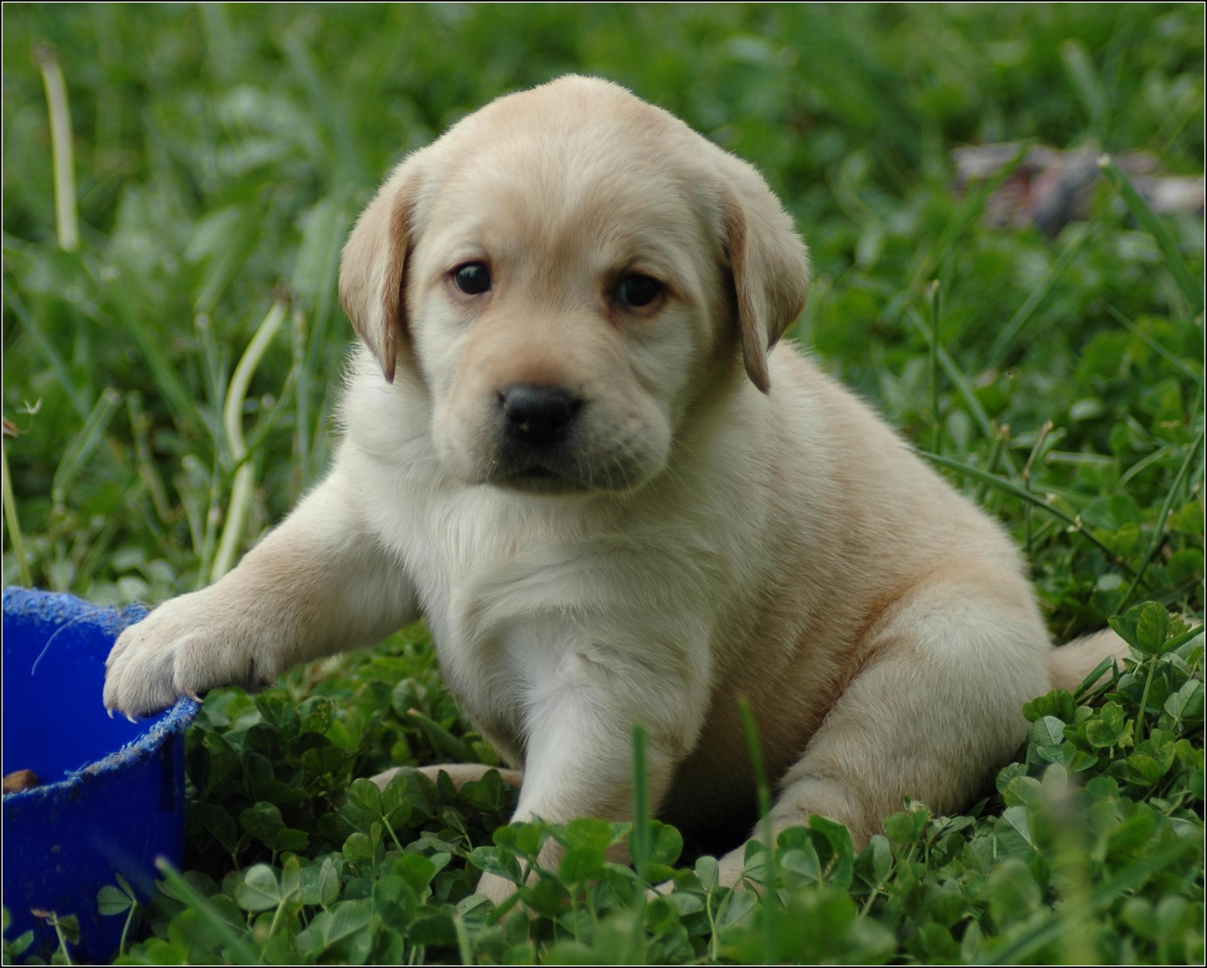 Pitbull Dogs Puppies