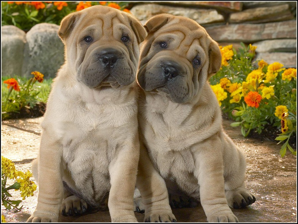 Shar Pei Dog Pictures