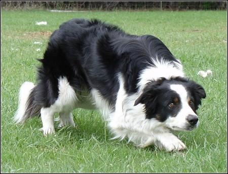 Shepherd Dog Black And White