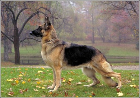 Shepherd Dog Types