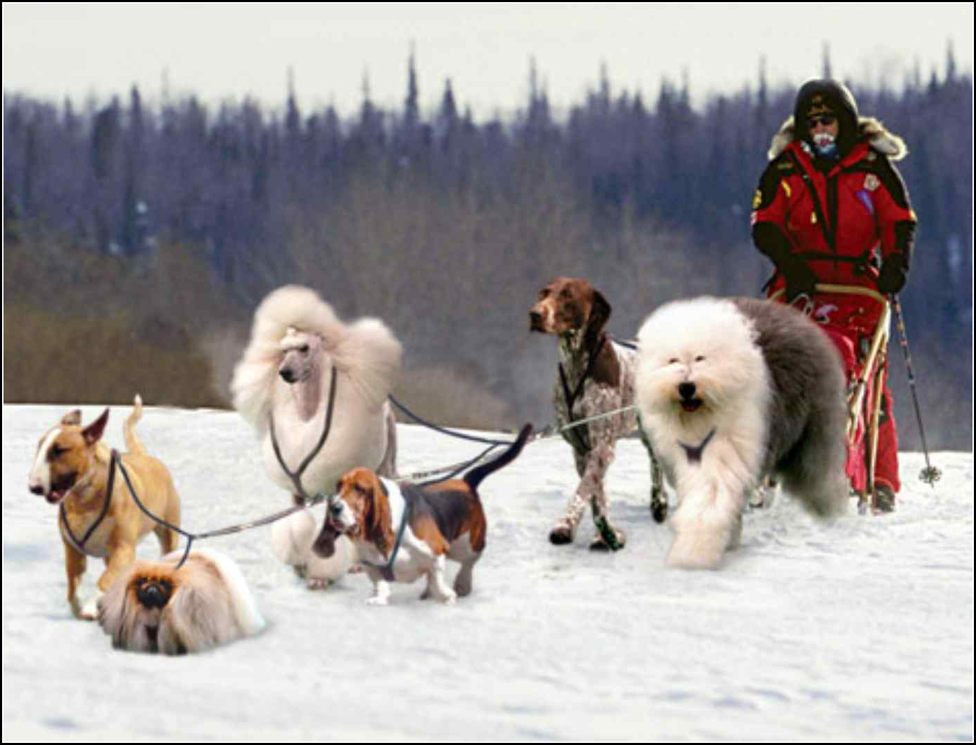 Sled Dogs Images