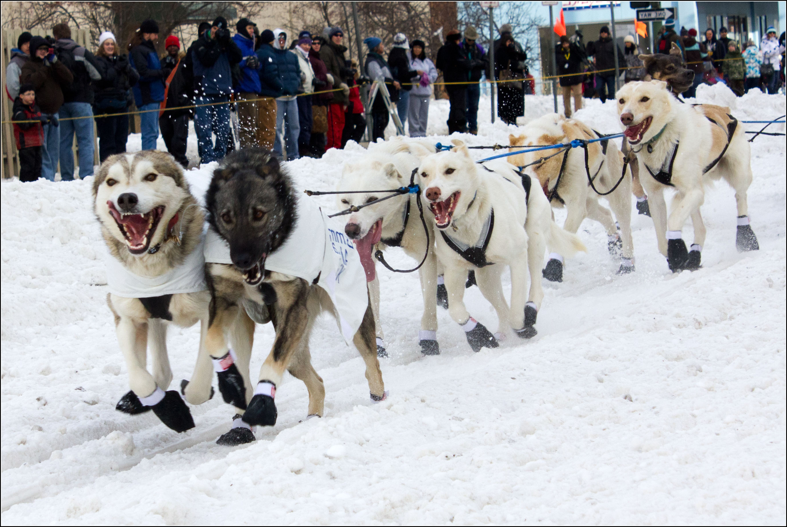 Sled Dogs Pictures