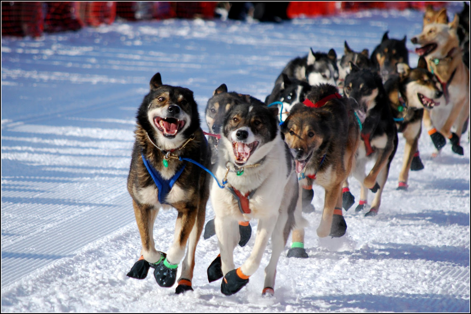 Sled Dogs Racing