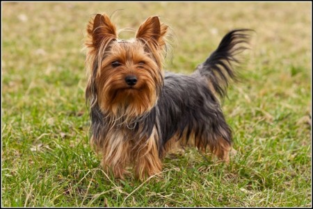 Terrier Dogs Breeds