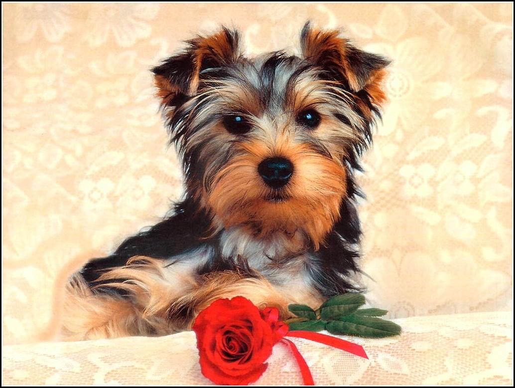 Yorkie Dog Images